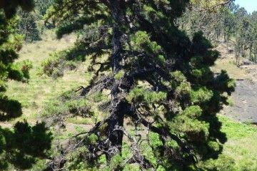 El pino de Santo Domingo tiene unos cuatrocientos años de existencia