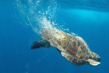 El convenio para el traslado de las tortugas marinas heridas involucra a la Balearia y las entidades sectoriales