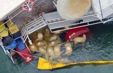 """Miles de ovejas han muerto ahogadas en el naufragio del buque """"Queen Hind"""""""