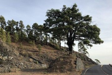 Pino del Consuelo, uno de los ejemplares soberbios de pinos en La Palma